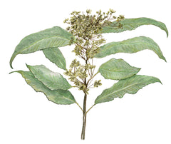 Lemon Myrtle (Backhousia citriodora),