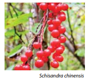 Schisandra for brain fog