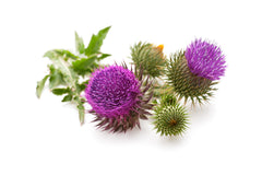 St Mary Thistle (Silybum marianum)