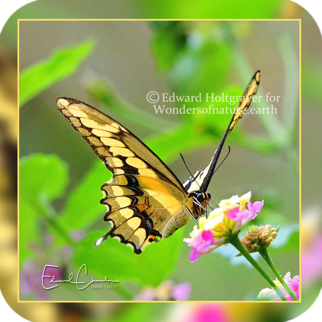 Butterflies - Giant Swallowtail