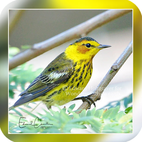 Birds - Cape May Warbler