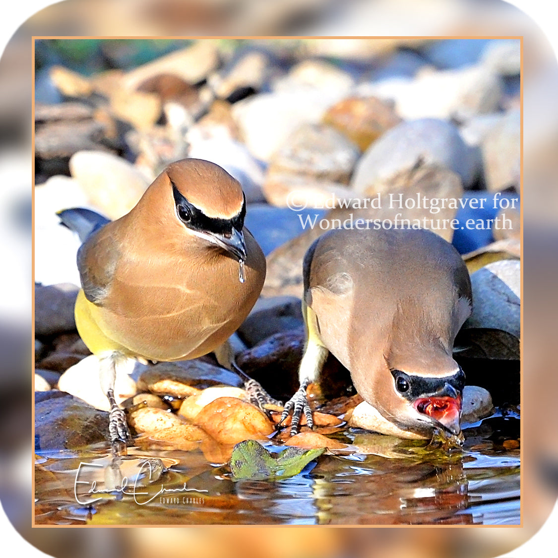Birds - Cedar Waxwings