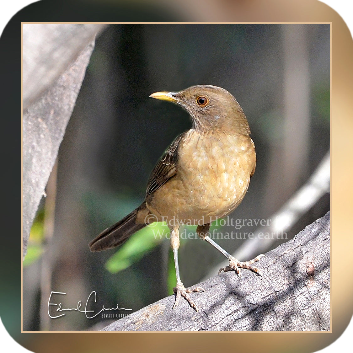 Birds - Clay-Colored Thrush