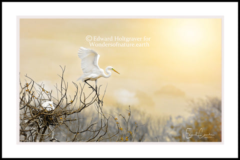 "Great White Egret at High Island, Texas 20"" x 30"""