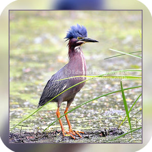 Birds - Green Heron