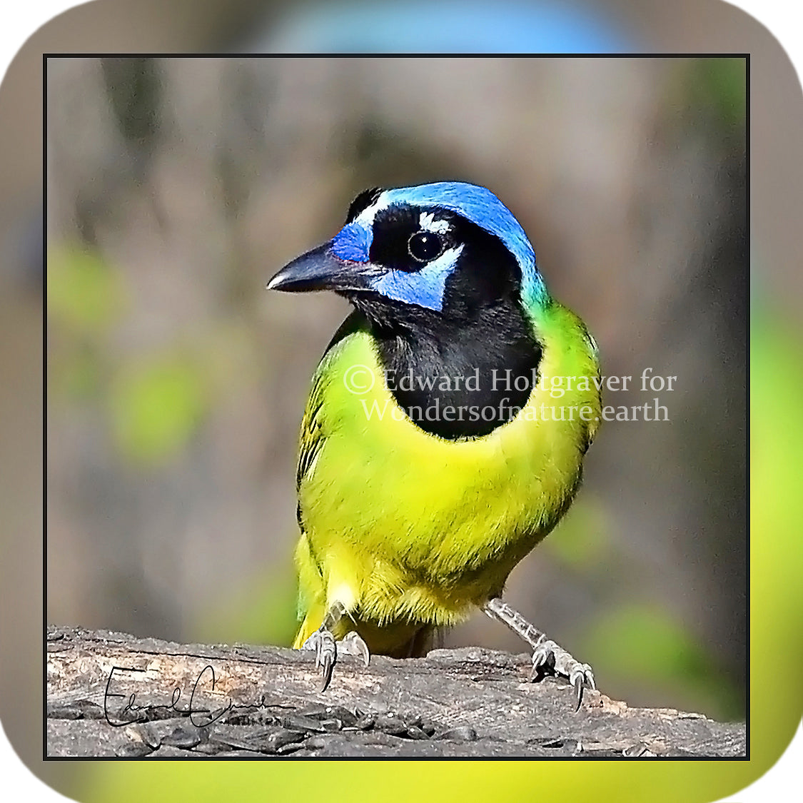 Birds - Green Jay