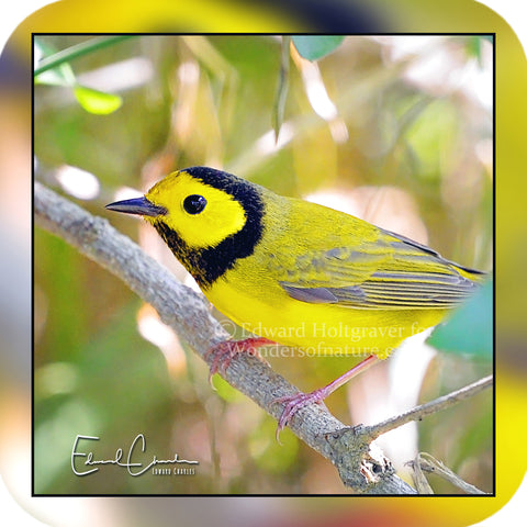 Birds - Hooded Warbler