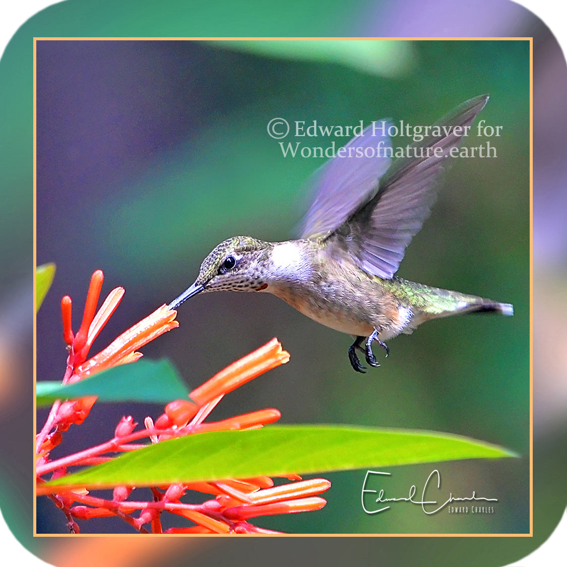 Birds - Hummingbird