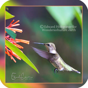 Birds - Hummingbird 10