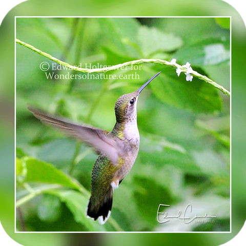 Birds - Hummingbird 15
