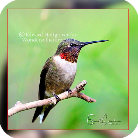 Birds - Hummingbird 06