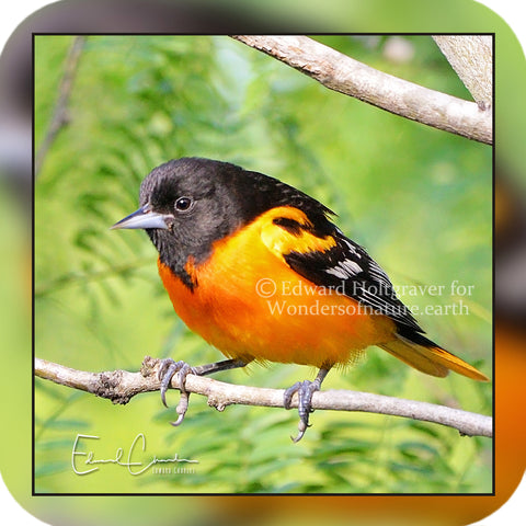 Birds - Baltimore Oriole