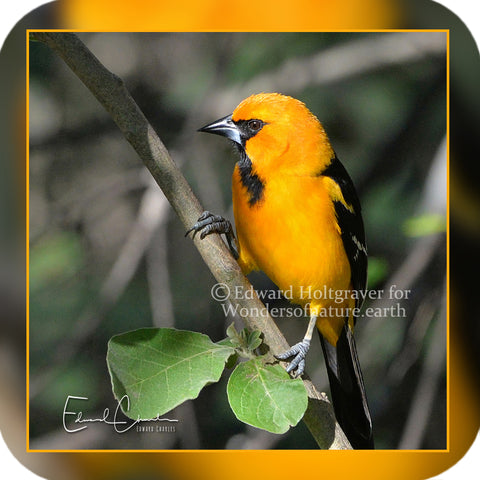 Birds - Altamira Oriole