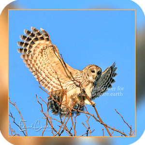 Birds - Barred Owl landing in a tree