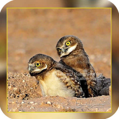 Birds - Burrowing Owl Brothers