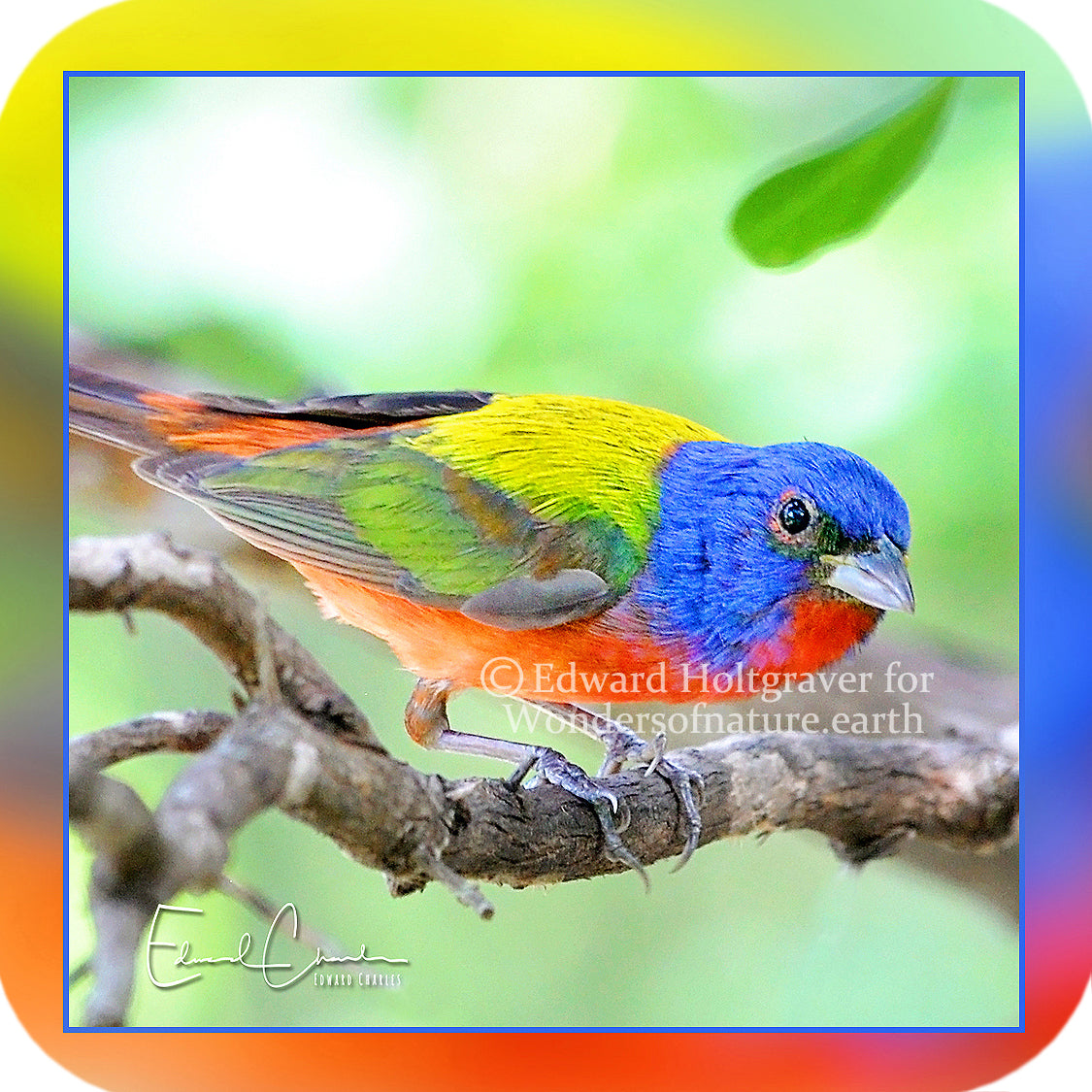 Birds - Painted Bunting