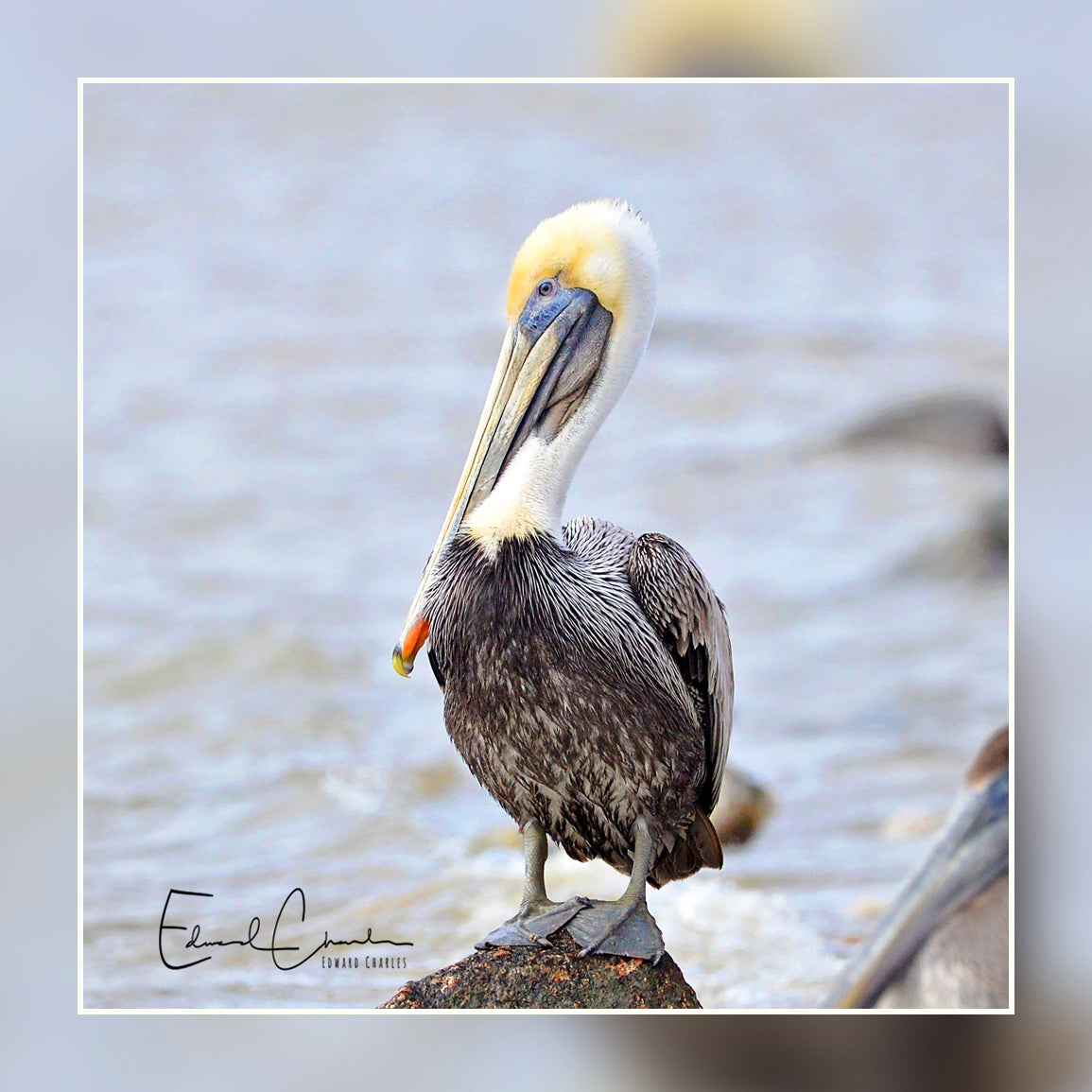 Birds - Pelican from Texas City dike