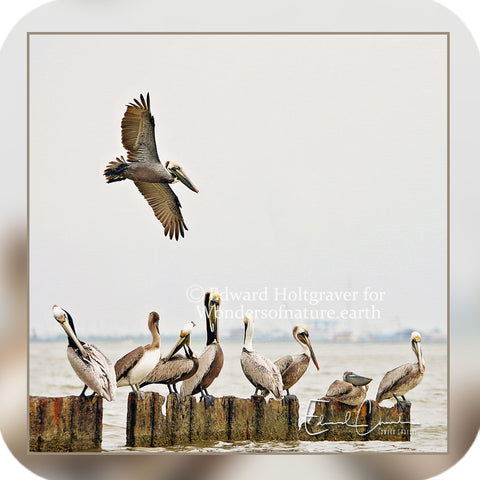Birds - Pelican Group