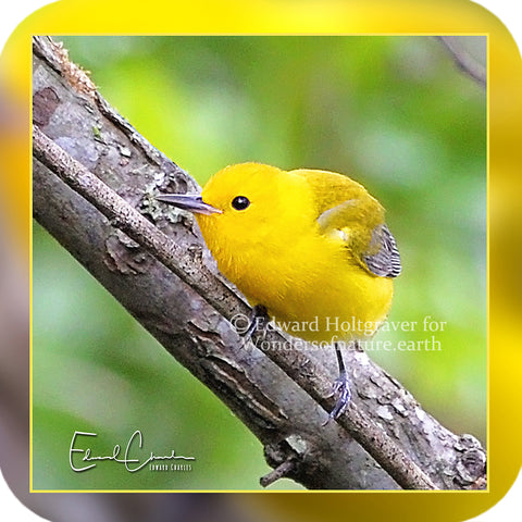 Birds - Prothonotary Warbler