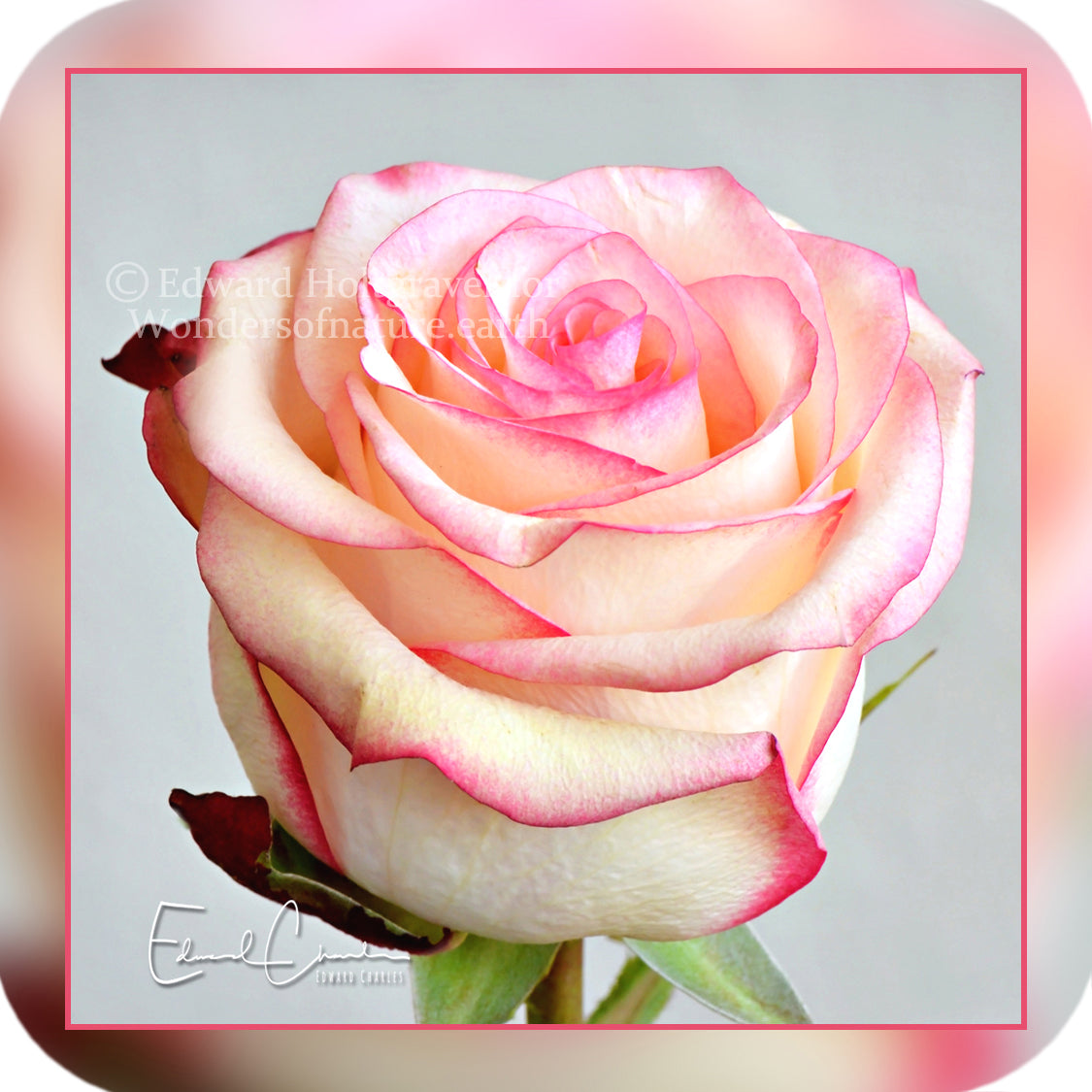 Flowers - Pink Rose