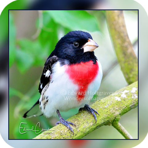 Birds - Rose Breasted Grosbeak 01