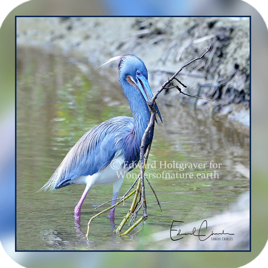 Birds - Tri-Colored Heron