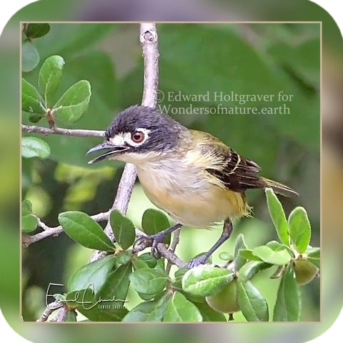 Birds - Black-clapped Vireo