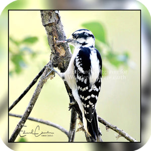 Birds - Downy Woodpecker