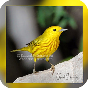 Birds - Yellow Warbler