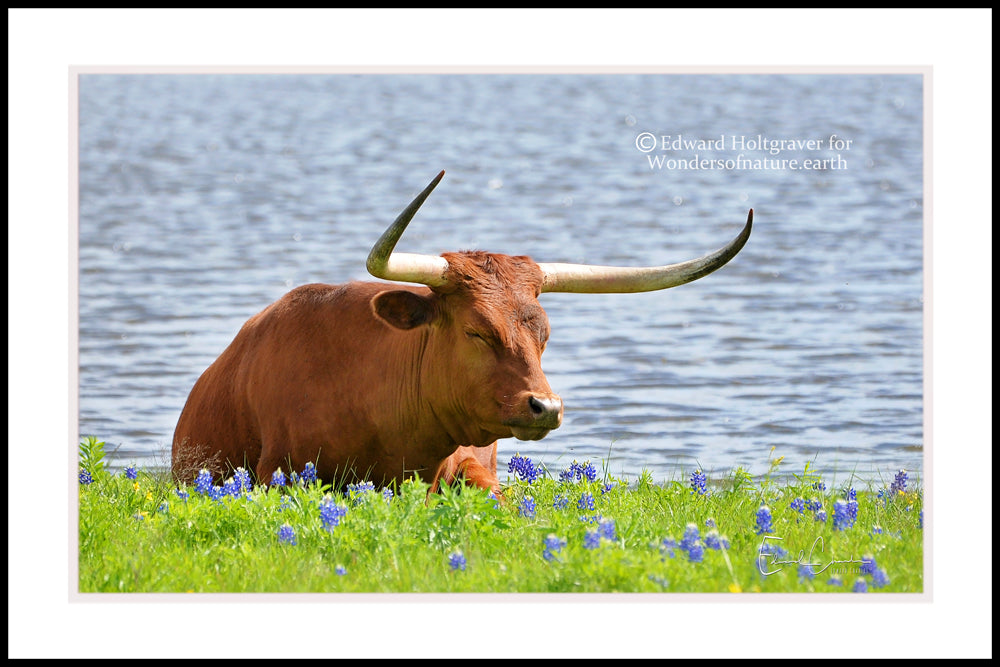 "Texas Longhorn in Bluebonnets 20"" x 30"""