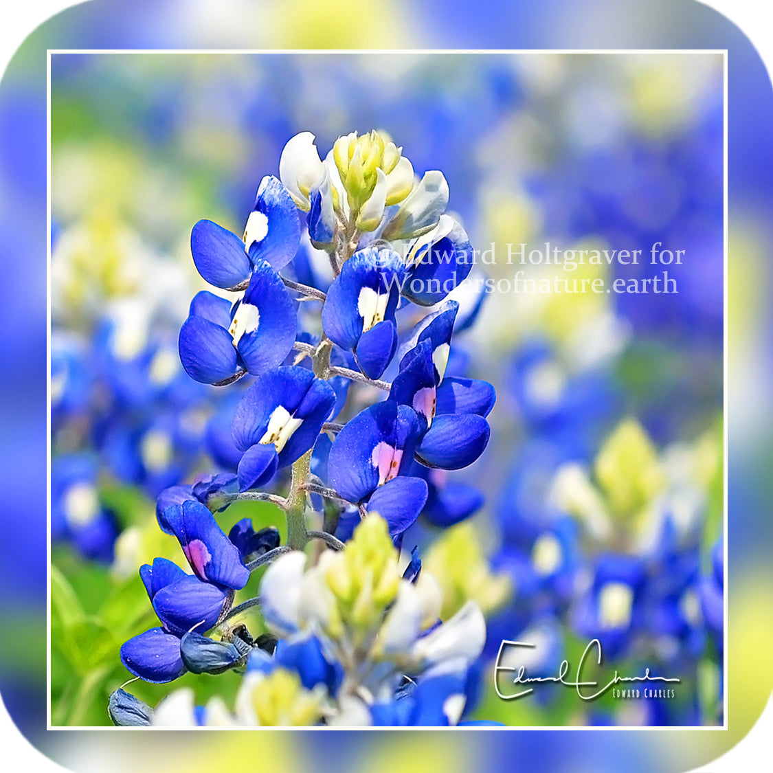 Flowers - Bluebonnets