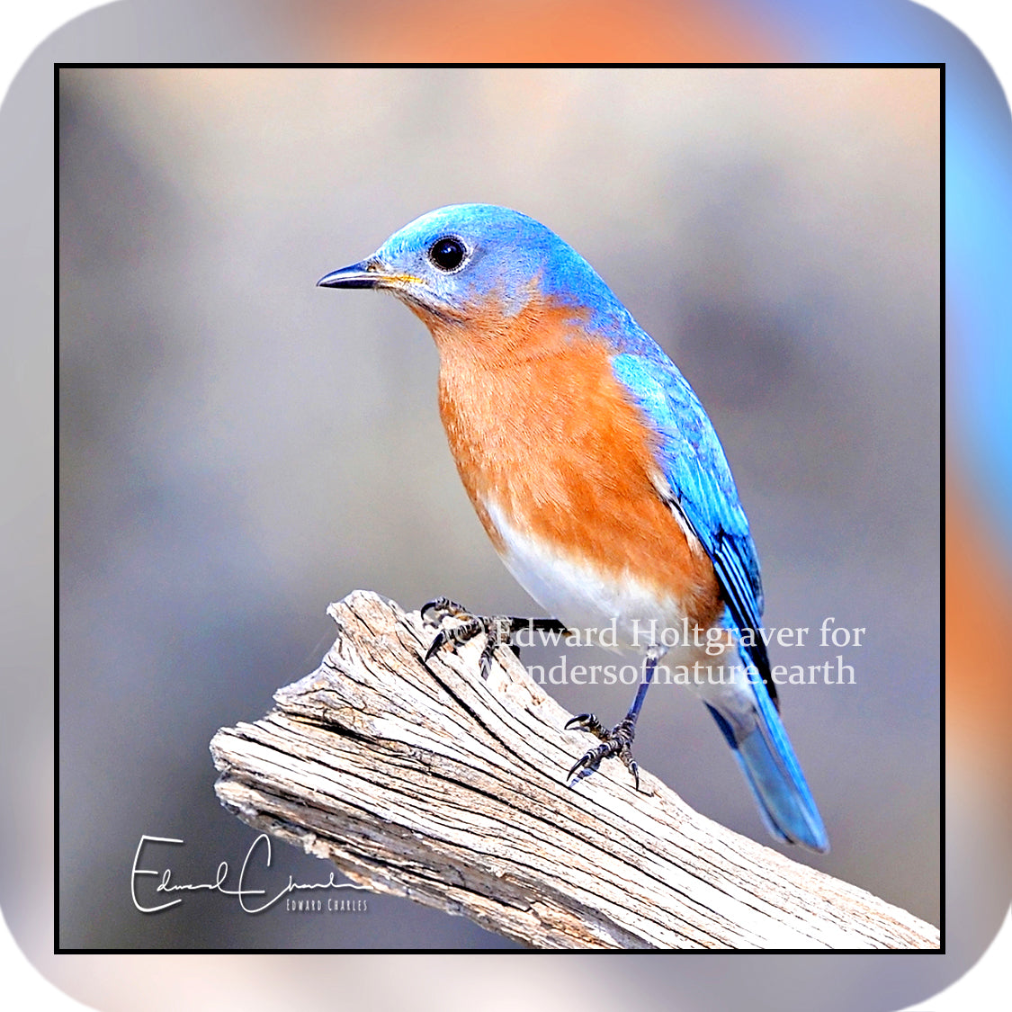 Birds - Eastern Bluebird