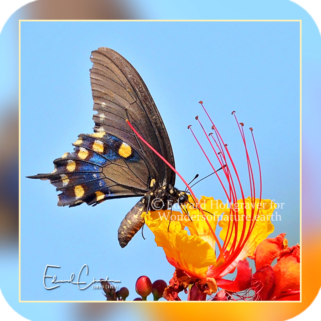 Butterflies - Pipevine Swallowtail