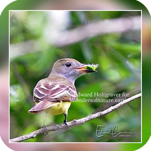Birds - Great Crested Flycatcher
