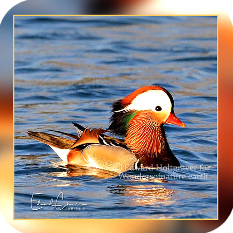 Birds - Mandarin Duck