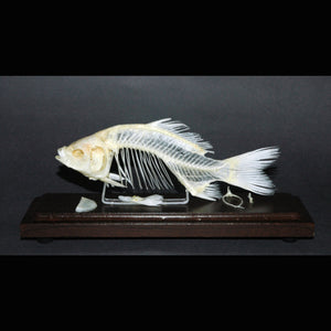 Fish Skeleton dark art oddities oddity los angeles long beach california