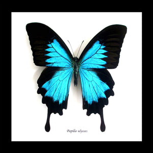 Framed Ulysses Butterfly