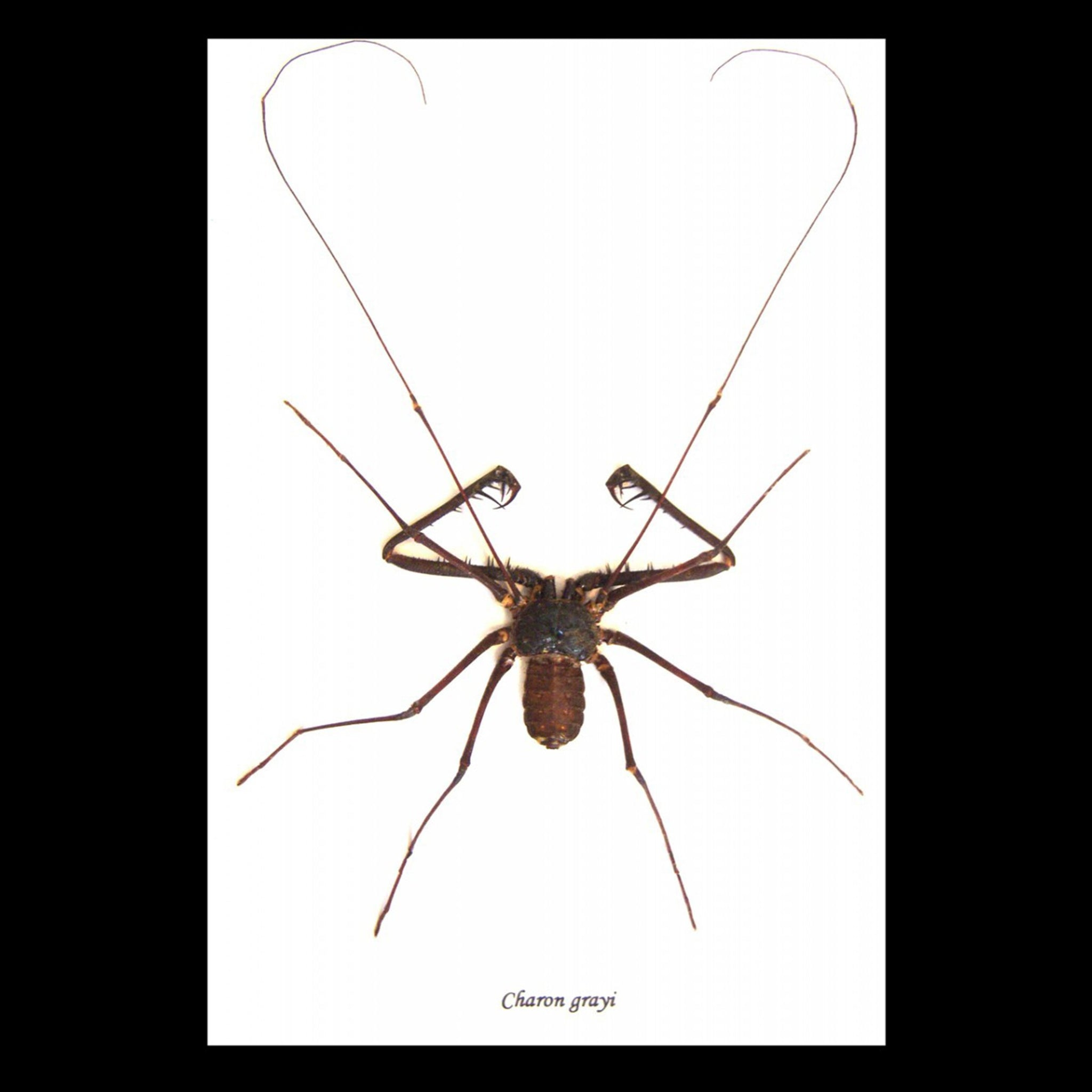 Framed Whip Spider