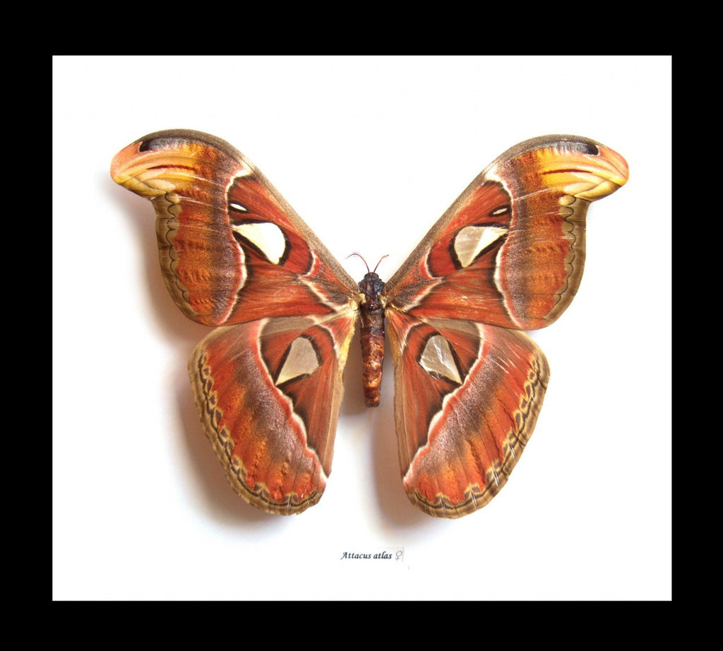 Framed Female Atlas Moth