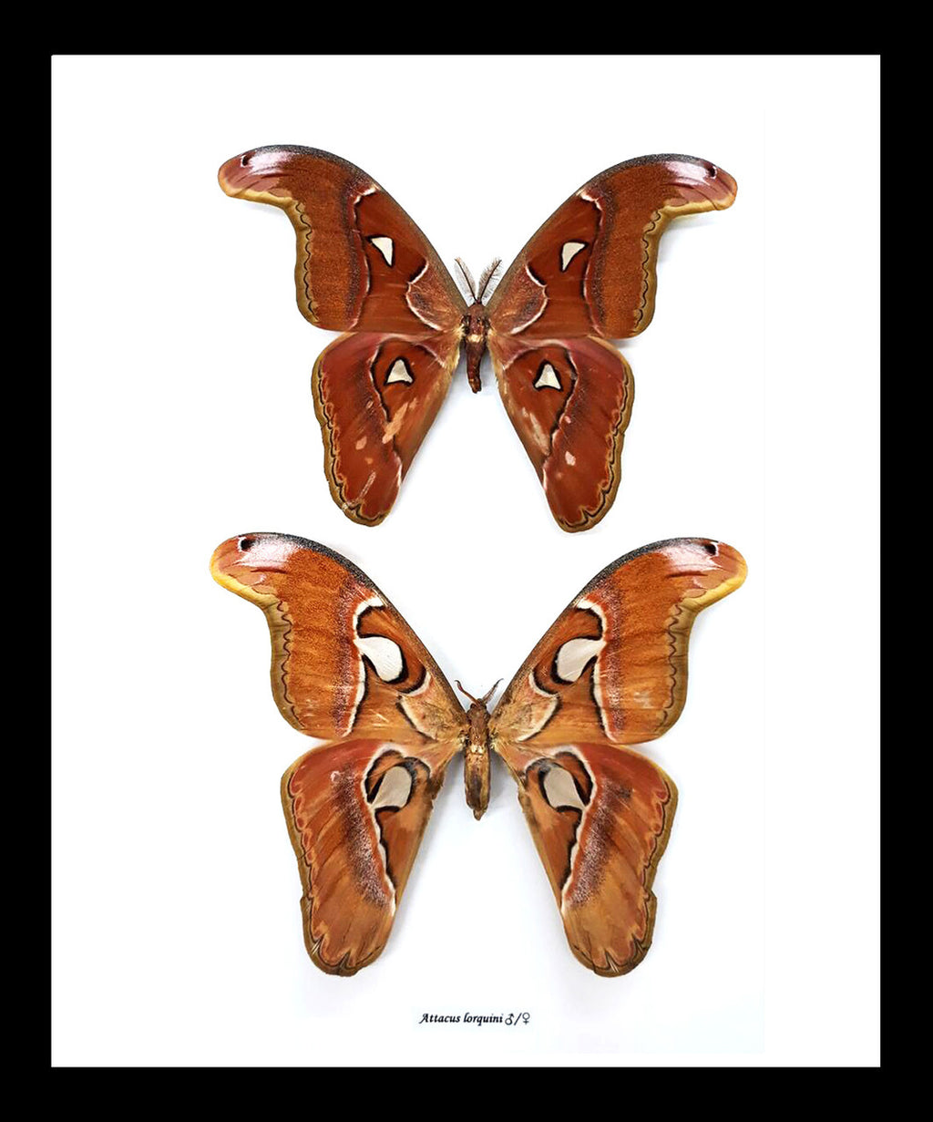 Framed Atlas Moths Pair