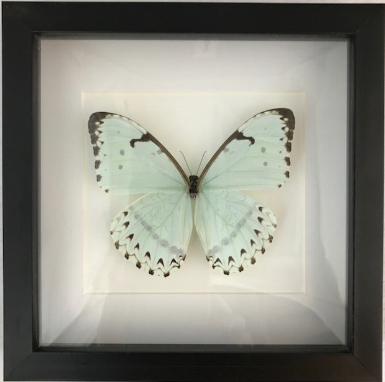 Framed White Morpho