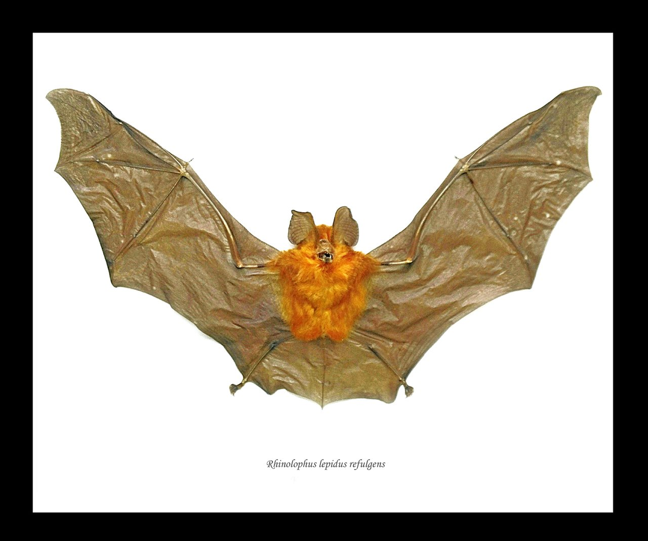 Framed Horseshoe Bat oddities for sale long beach los angeles oddity