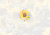 4033 Feel Better Sunflower Filmstrip