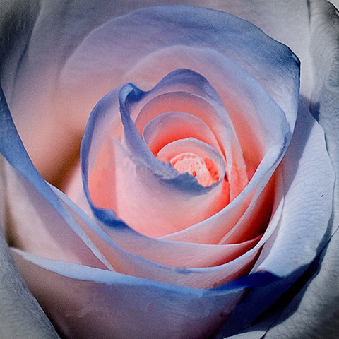 120pcs Blue and Pink Rose Seeds - fitnessbeststore