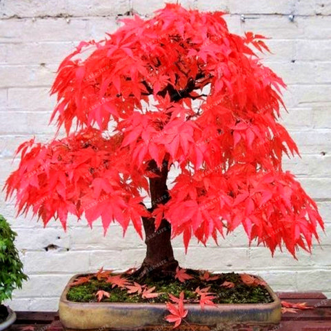 Japanese Maple Seeds 20 Pcs - fitnessbeststore