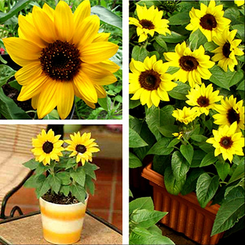 20 seeds mini 40cm height sunflower seeds for home garden - fitnessbeststore