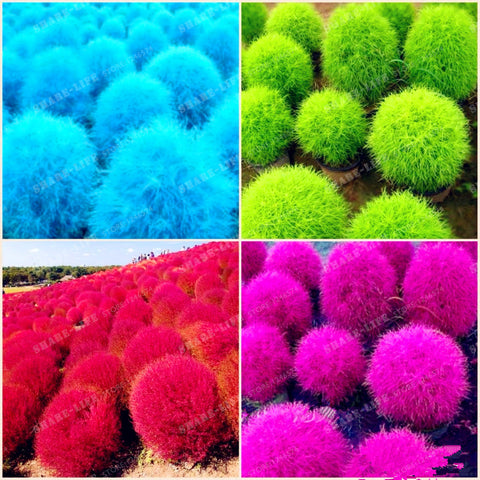 Blue Grass seeds Perennial 500pcs Grass Burning Bush Kochia Scoparia Seeds Red Garden Ornamental Easy Grow Bonsai Home Garden - fitnessbeststore