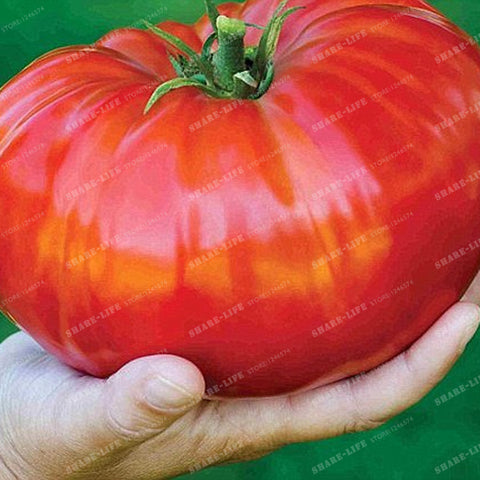 Heirloom Giant Monster Tomato Rare Seeds 100 PCS - fitnessbeststore