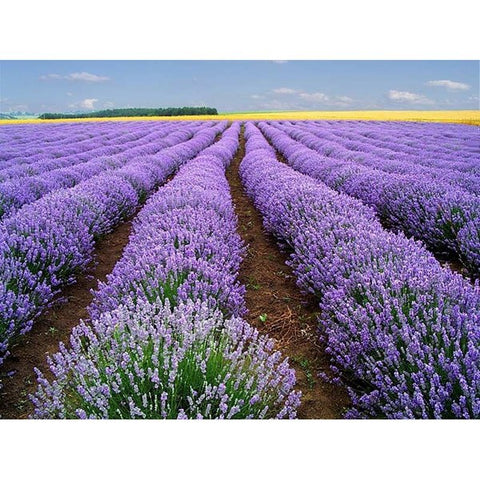 20 Pcs Beautiful Lavender Herb Seed for home garden - fitnessbeststore