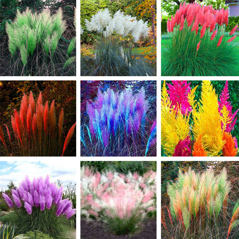 600 pcs Rare Pampas Grass Seeds for home garden - fitnessbeststore